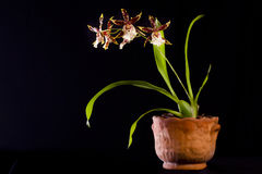 Spider Orchid Stock Photography