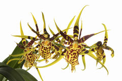Spider Orchid Stock Image