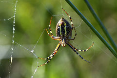 Spider outdoor Royalty Free Stock Image