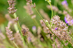 Spider in between overblown flowers Royalty Free Stock Image