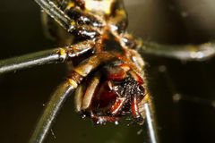 Spider Papa- Fly Stock Photo