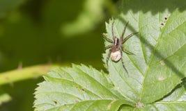 Spider ( Pardosa monticola) Royalty Free Stock Photo