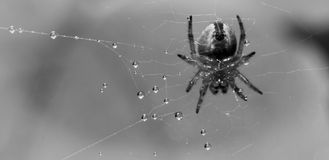 Spider and pearls Royalty Free Stock Photo