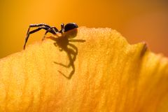 Spider on Petal. A macro view of a spider on the edge of a petal Stock Images