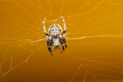 Spider pets animals Stock Image