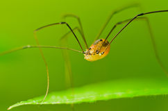 Spider Phalangium opilio Stock Photography