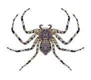 Spider Philodromus margaritatus Stock Image