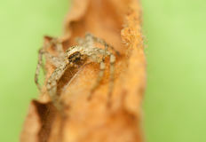 Spider - Philodromus Royalty Free Stock Image