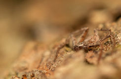 Spider - Philodromus Stock Images