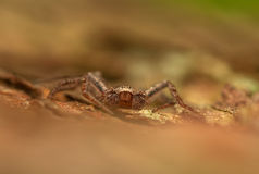 Spider - Philodromus Stock Image