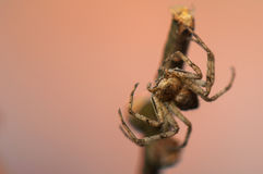 Spider - Philodromus Stock Photography