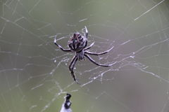 Spider in the Pilliga Forest Royalty Free Stock Photos