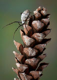 Spider on pine cone Stock Images