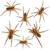 Spider, Pirata piraticus, in front of white Stock Photo