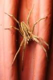 Spider Pisaura mirabilis Stock Photos