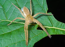 Spider (Pisauridae) on leaf 1 Royalty Free Stock Image