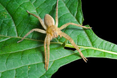 Spider (Pisauridae) On Leaf 3 Stock Photos