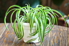 Spider Plant Royalty Free Stock Photo