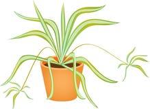Spider plant Stock Photos