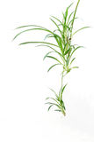 Spider plant Royalty Free Stock Photos