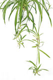 Spider plant. The close-up of green spider plant. Scientific name: Chlorophytum comosum royalty free stock photos