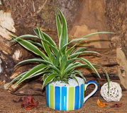 Spider plant in a colorful cup. Spider plant in a colorful cup beautiful decorated with wood Stock Images