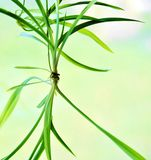Spider plant. Plantlet growing from spider plant Royalty Free Stock Image