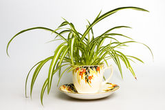 Spider plant in retro tea cup. Isolated on white Stock Photo