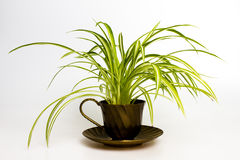Spider plant in retro tea cup. Isolated on white Stock Photos
