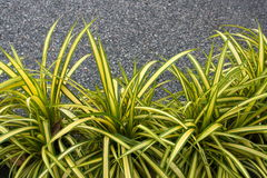 Spider Plant royalty free stock photography