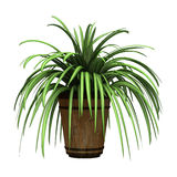 Spider Plant on White Royalty Free Stock Photo