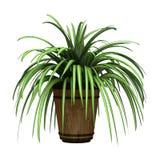 Spider Plant on White Royalty Free Stock Photo