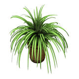 Spider Plant on White Stock Image