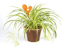 Spider Plant With Decoration Heart Stock Image