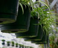 Spider Plants. In hanging baskets in a greenhouse Royalty Free Stock Photo