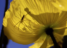 Spider On Poppy. Spider with one leg missing rests on glowing yellow poppy flower Royalty Free Stock Photography