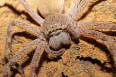 Spider portrait Royalty Free Stock Photos