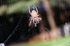 The Spider predator. Calabria, Italy. A Spider predator at dinner time in Calabri Stock Photos
