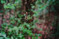 Spider;predator to small insect and wildlife. Spider;spiderweb; trap for the other insect Royalty Free Stock Image