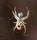 Spider prey Stock Photography