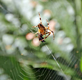 Spider and prey Royalty Free Stock Image