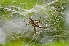 Spider with prey. In its web - baby spiders can be seen climbing on the web Royalty Free Stock Image