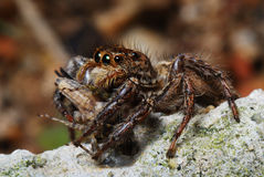 Spider With Prey Caught Stock Photo