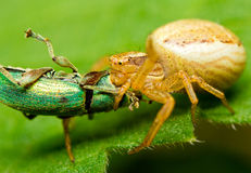 Spider and prey Stock Image