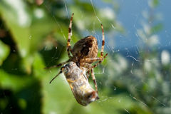 Spider with prey Stock Photos