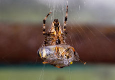 Spider with prey Stock Images