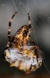 Spider with prey Stock Photo