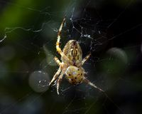 Spider and prey Royalty Free Stock Images