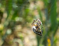 Spider with prey royalty free stock photos