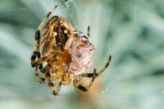 Spider with prey ladybug Stock Photos